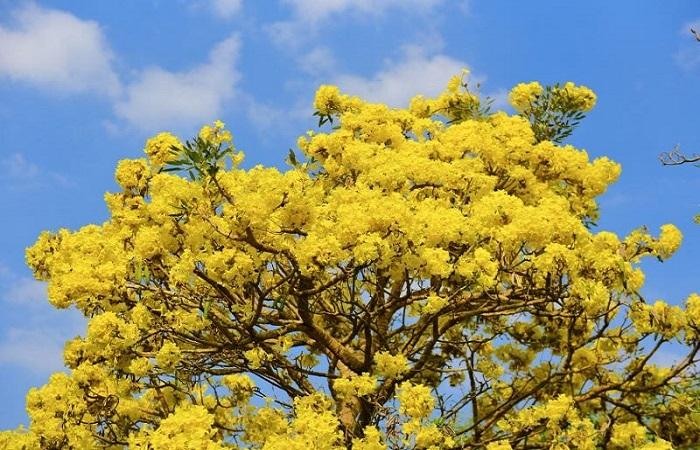 Loại cây đẹp được trổng trước sân nhà