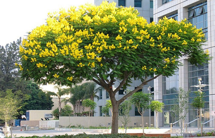 Loại cây đẹp được hay trồng trước sân nhà